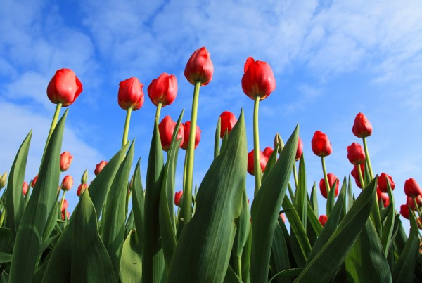 red tulips against blue sky with some clouds