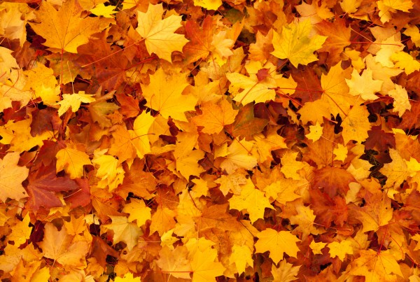 yellow maple leaves Autumn background image